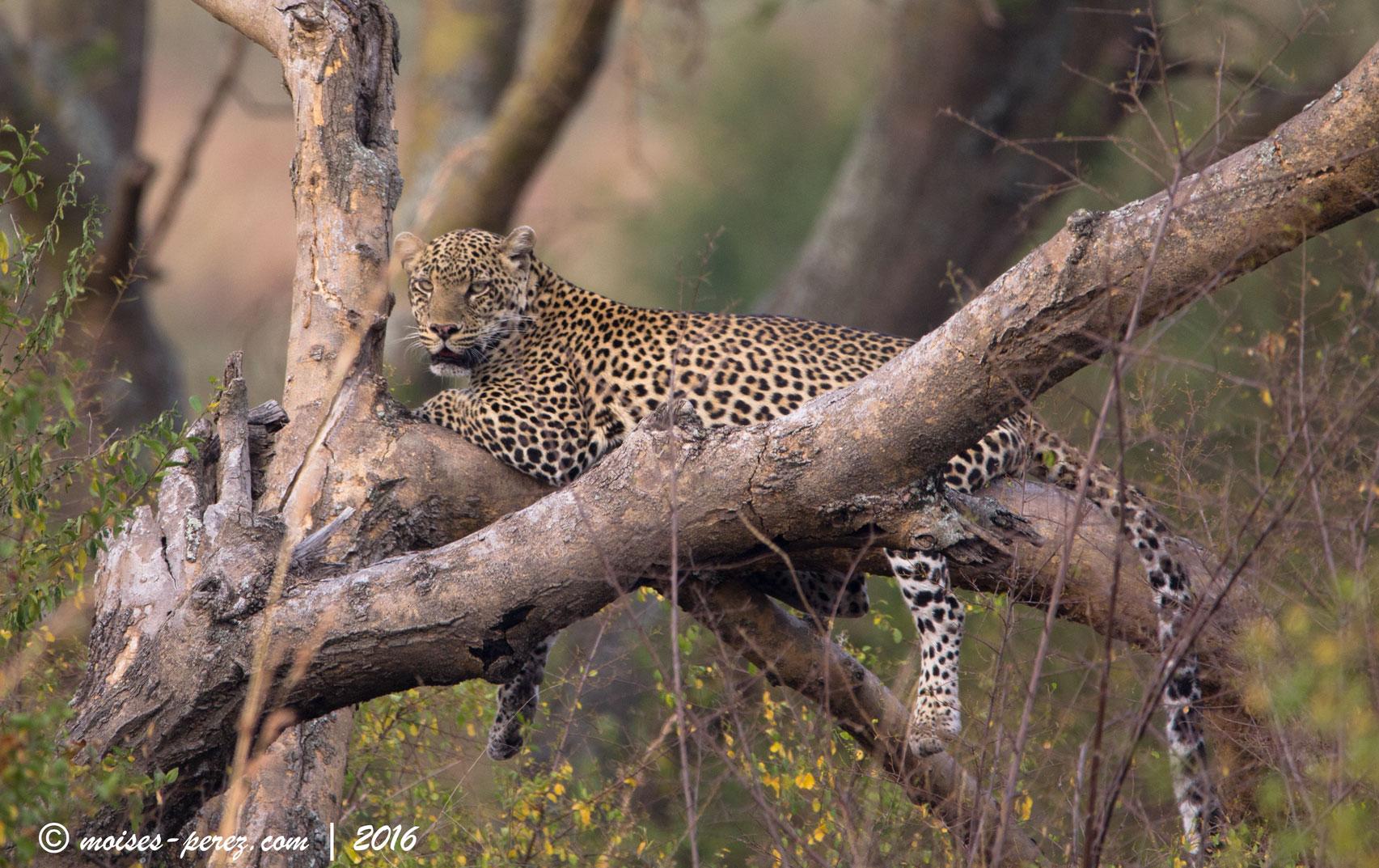 Leopard in Uganda
